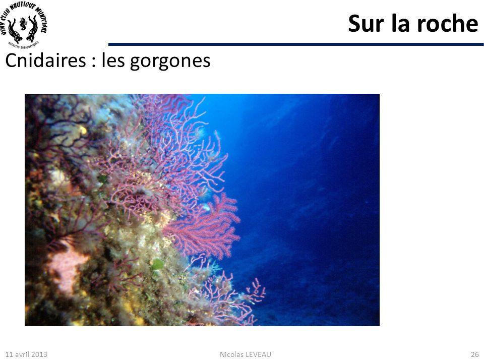 Sur la roche Cnidaires : les gorgones 11 avril 2013 Nicolas LEVEAU