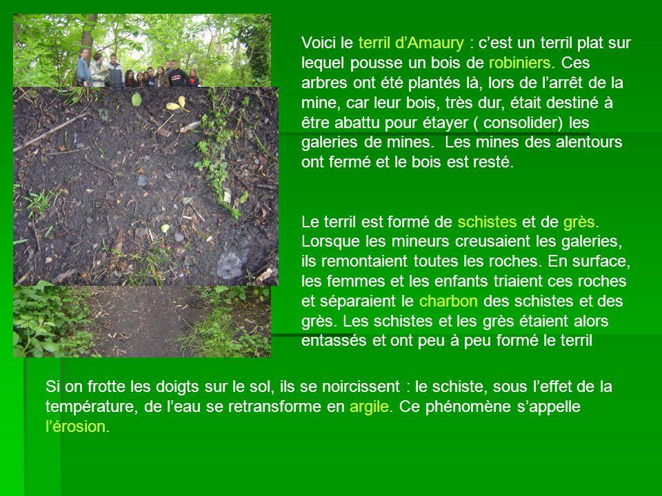 Voici le terril d'Amaury : c'est un terril plat sur lequel pousse un bois de robiniers. Ces arbres ont été plantés là, lors de l'arrêt de la mine, car leur bois, très dur, était destiné à être abattu pour étayer ( consolider) les galeries de mines. Les mines des alentours ont fermé et le bois est resté.