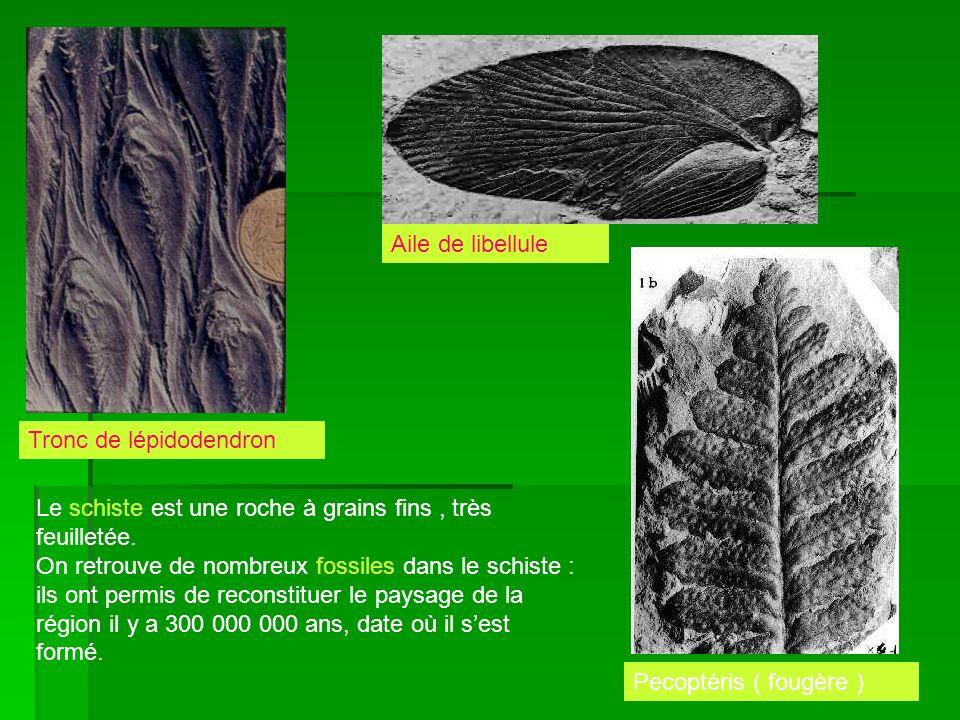 Aile de libellule Tronc de lépidodendron. Le schiste est une roche à grains fins , très feuilletée.
