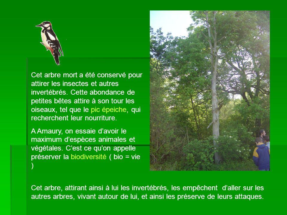 Cet arbre mort a été conservé pour attirer les insectes et autres invertébrés. Cette abondance de petites bêtes attire à son tour les oiseaux, tel que le pic épeiche, qui recherchent leur nourriture.
