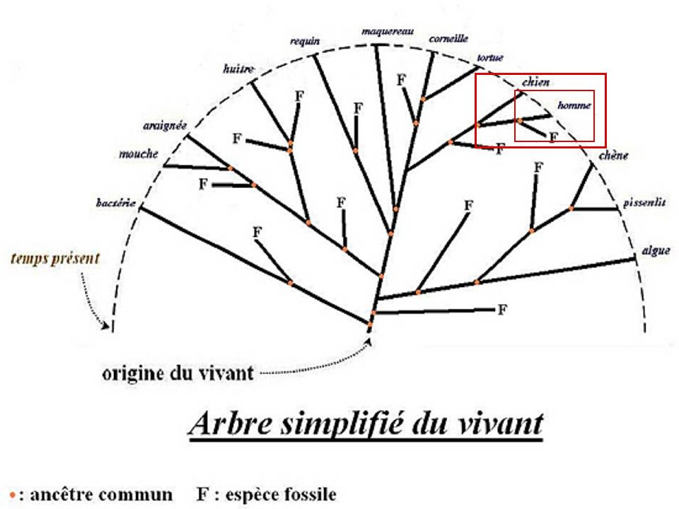 classification phylogénétique