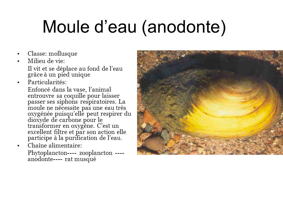 Moule d'eau (anodonte)
