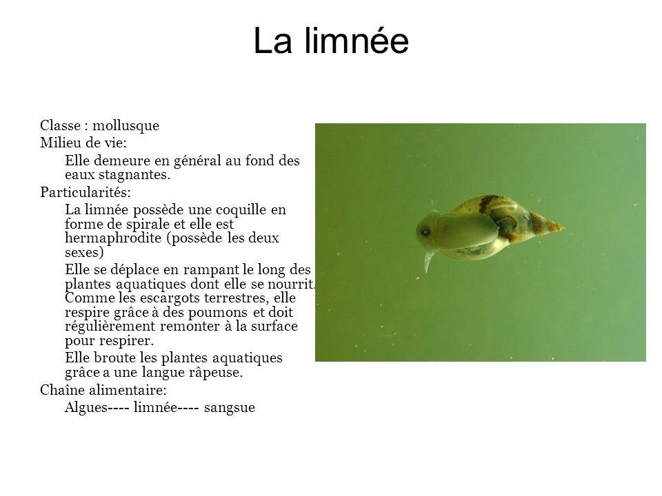 La limnée Classe : mollusque Milieu de vie: