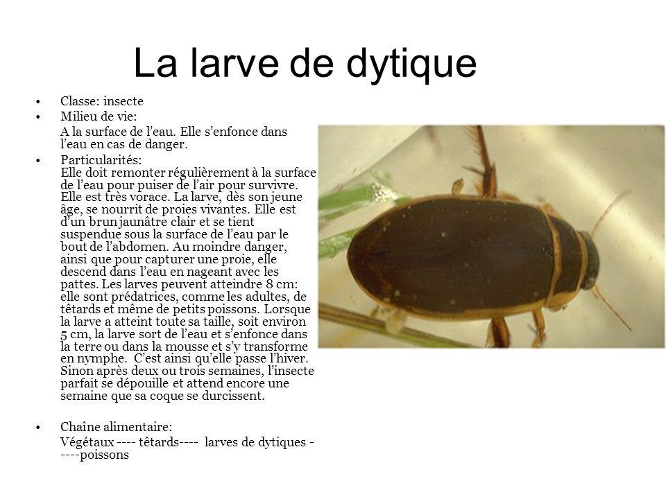 La larve de dytique Classe: insecte Milieu de vie: