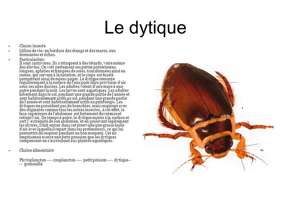 Le dytique Classe: insecte