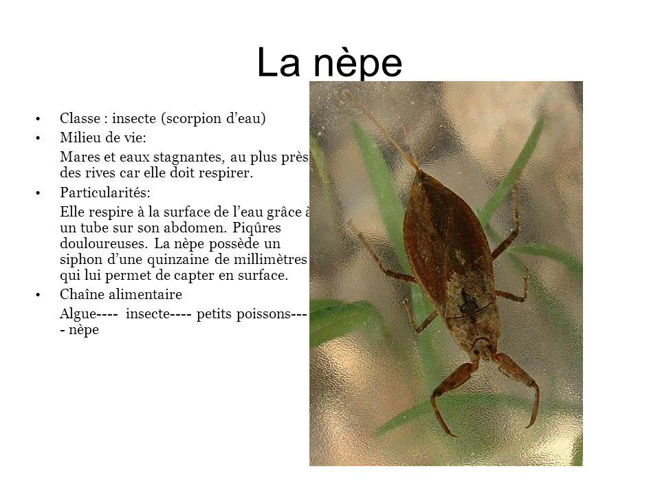 La nèpe Classe : insecte (scorpion d'eau) Milieu de vie:
