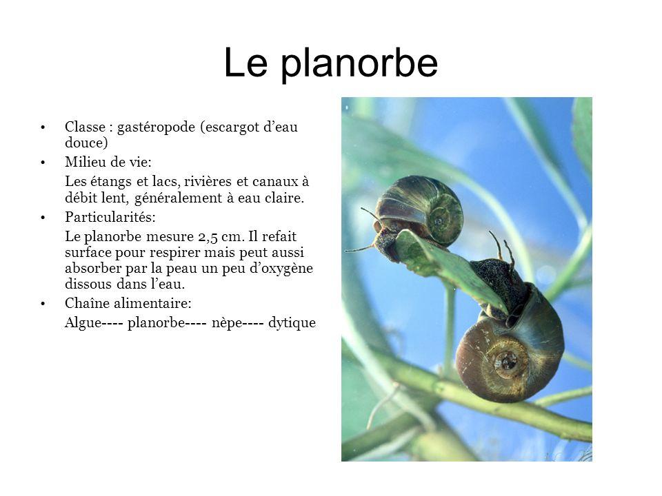 Le planorbe Classe : gastéropode (escargot d'eau douce) Milieu de vie:
