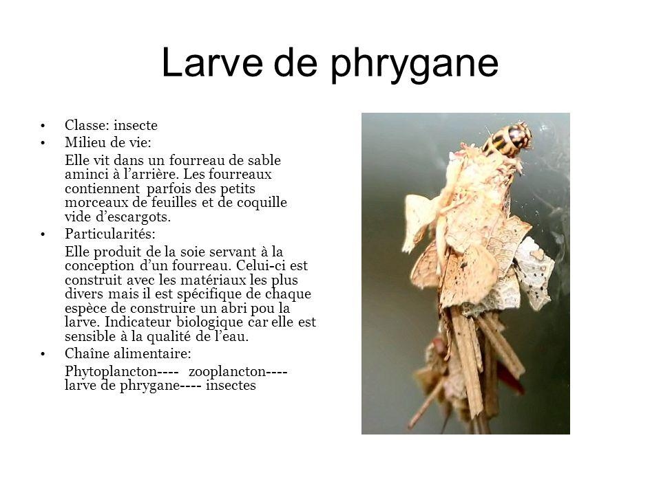 Larve de phrygane Classe: insecte Milieu de vie: