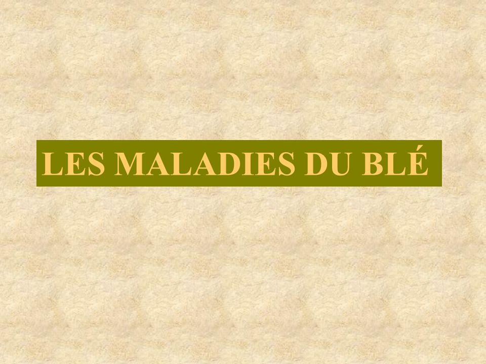 LES MALADIES DU BLÉ