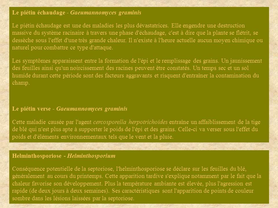 Le piétin échaudage - Gaeumannomyces graminis