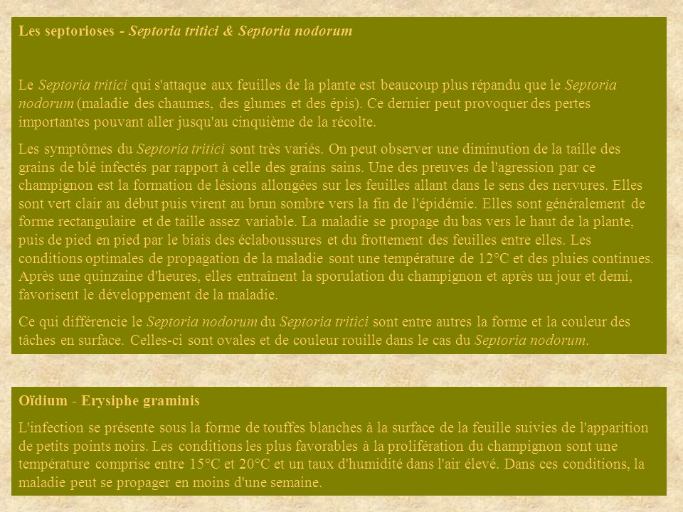 Les septorioses - Septoria tritici & Septoria nodorum