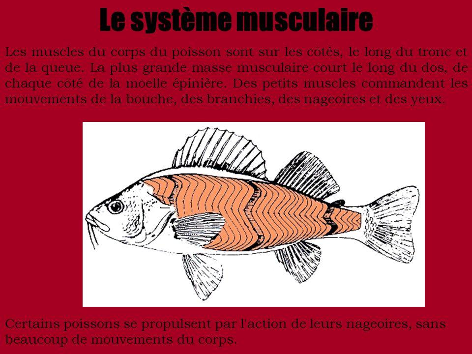 Le système musculaire