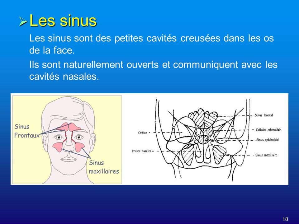 Les sinus Les sinus sont des petites cavités creusées dans les os de la face.