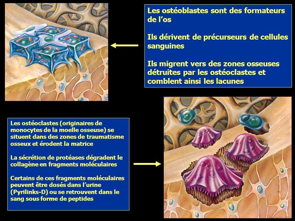 Les ostéoblastes sont des formateurs de l'os