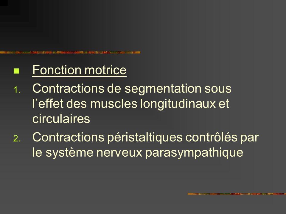 Fonction motrice Contractions de segmentation sous l'effet des muscles longitudinaux et circulaires.