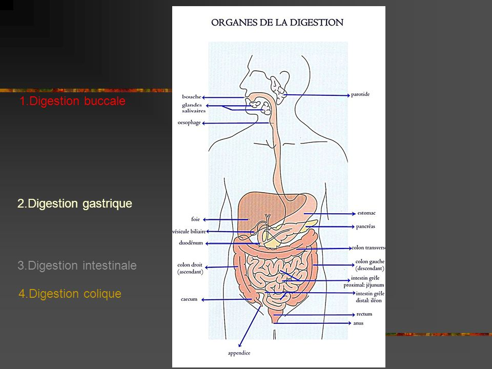 1.Digestion buccale 2.Digestion gastrique 3.Digestion intestinale 4.Digestion colique