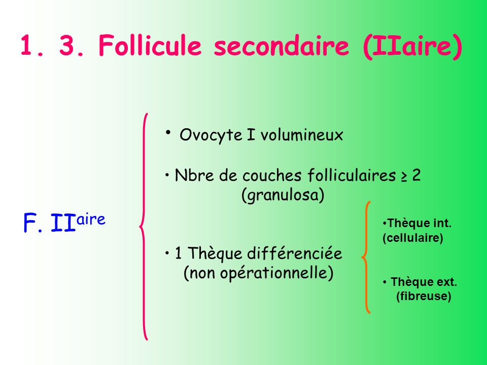 1. 3. Follicule secondaire (IIaire)
