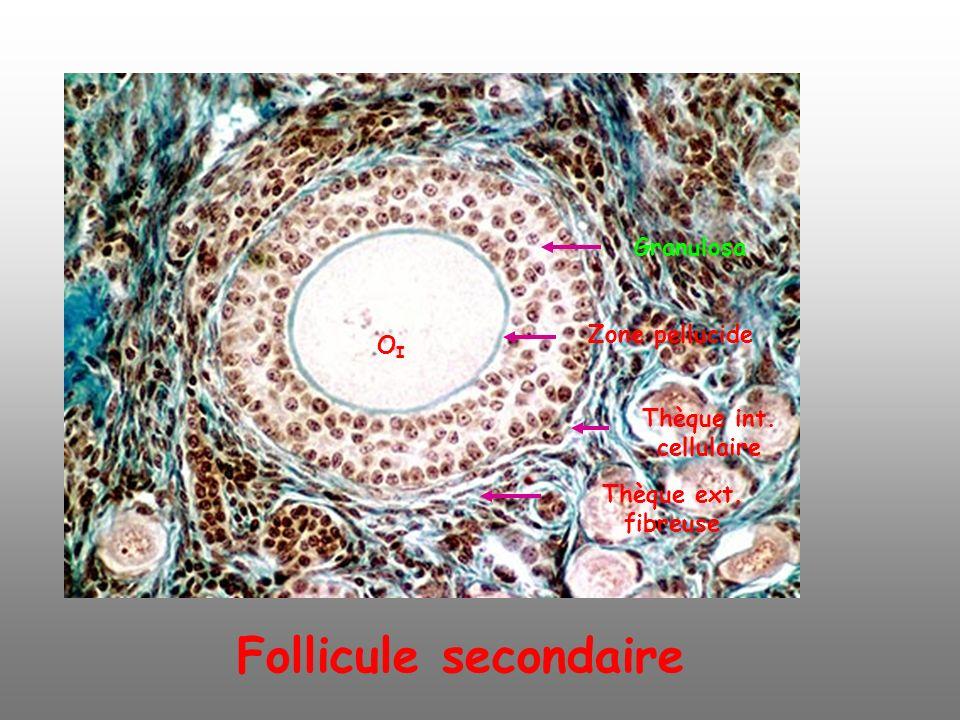 Follicule secondaire Granulosa OI Zone pellucide Thèque int.
