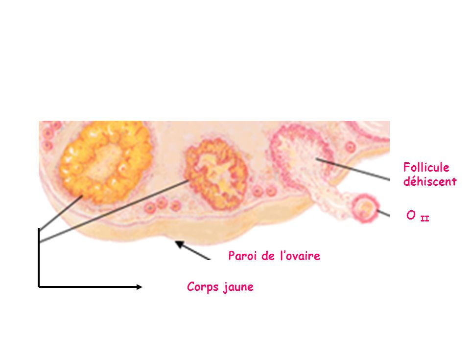 Follicule déhiscent O II Paroi de l'ovaire Corps jaune