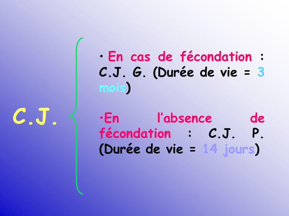 C.J. En cas de fécondation : C.J. G. (Durée de vie = 3 mois)