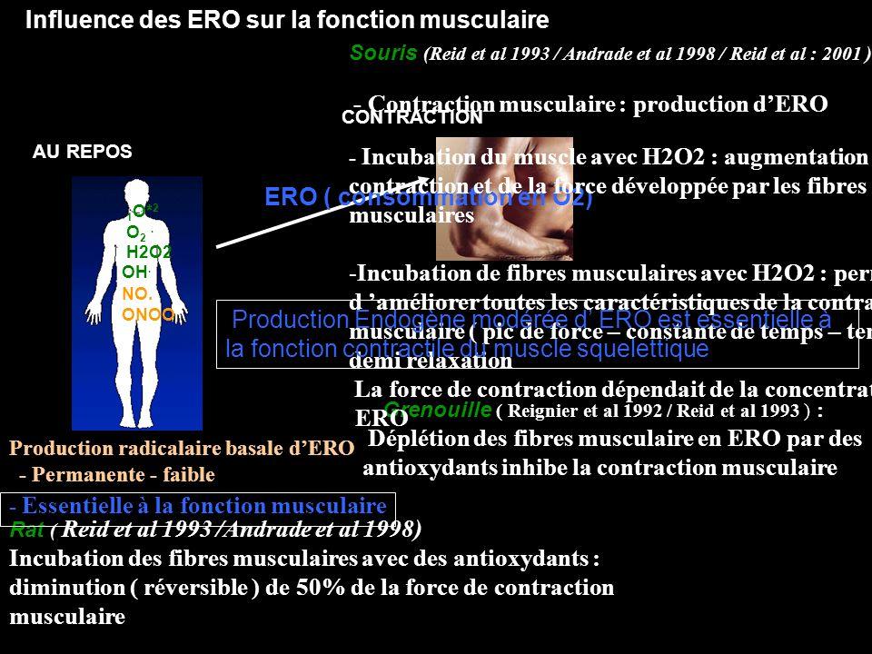 Influence des ERO sur la fonction musculaire