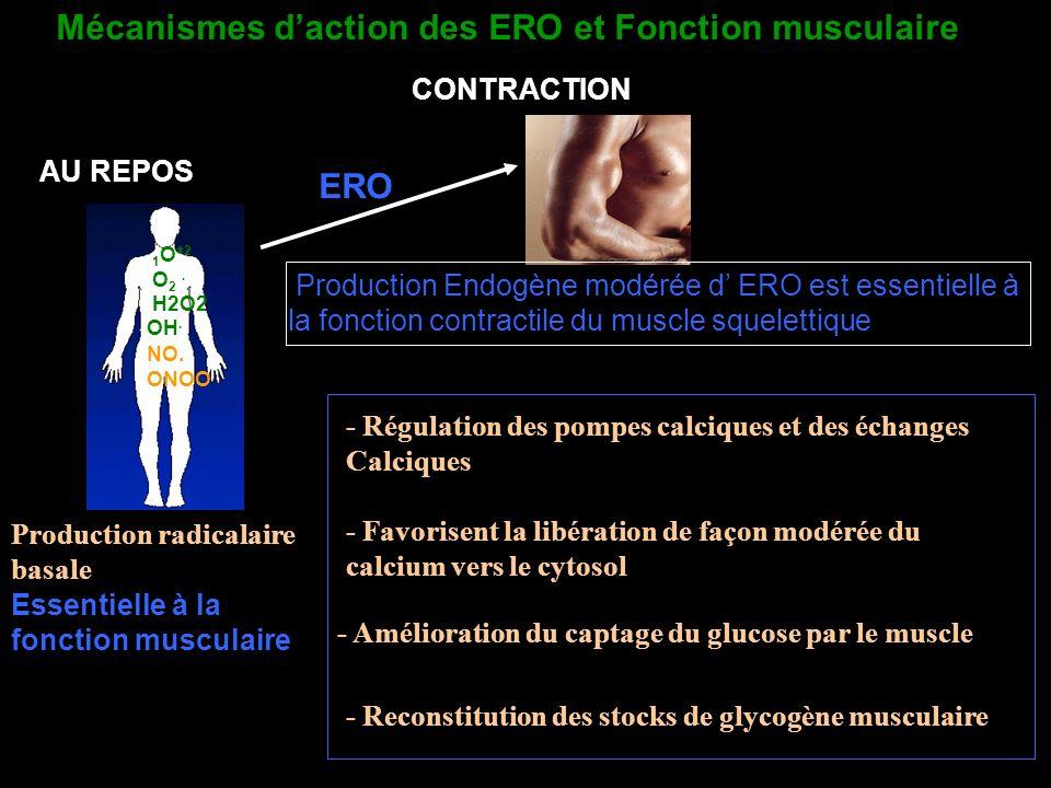 Mécanismes d'action des ERO et Fonction musculaire