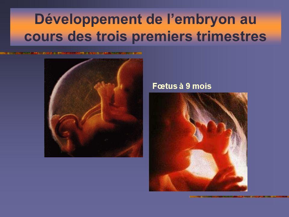 Développement de l'embryon au cours des trois premiers trimestres