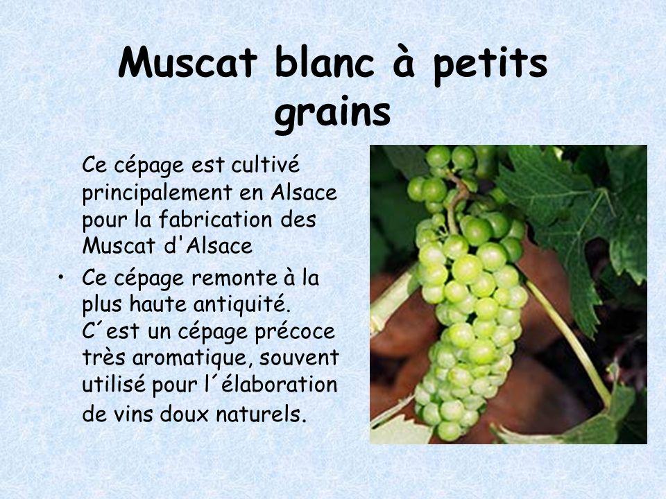 Muscat blanc à petits grains