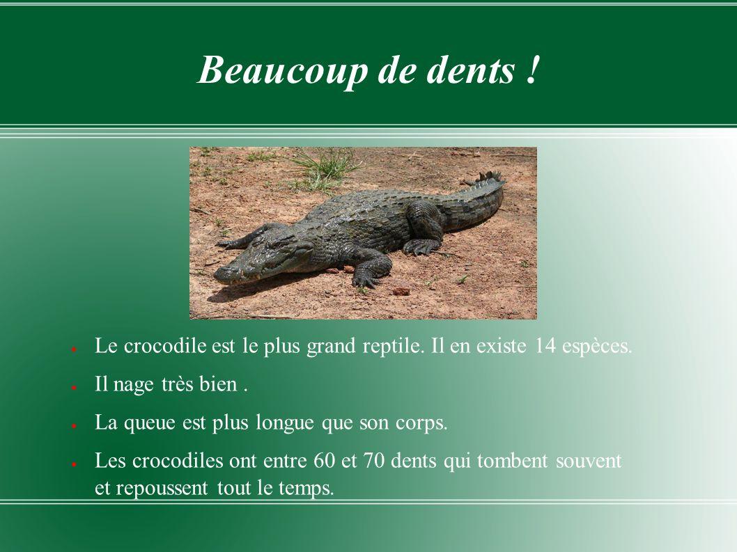 Beaucoup de dents ! Le crocodile est le plus grand reptile. Il en existe 14 espèces. Il nage très bien .