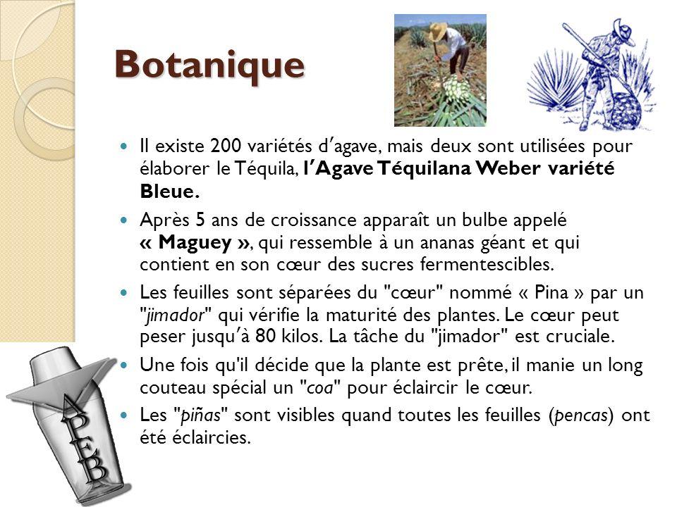 Botanique Il existe 200 variétés d'agave, mais deux sont utilisées pour élaborer le Téquila, l'Agave Téquilana Weber variété Bleue.