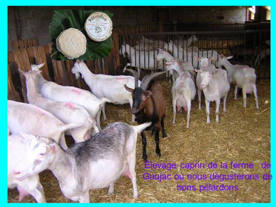 Élevage caprin de la ferme de Gaujac où nous dégusterons de bons pélardons