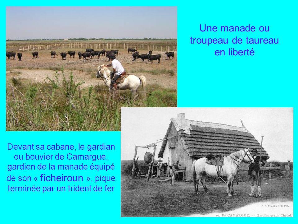 Une manade ou troupeau de taureau en liberté