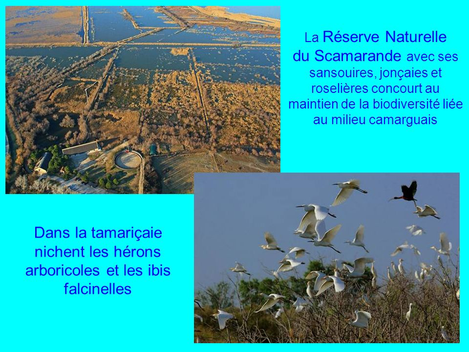 La Réserve Naturelle du Scamarande avec ses sansouires, jonçaies et roselières concourt au maintien de la biodiversité liée au milieu camarguais