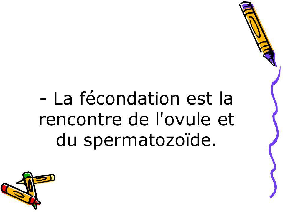 - La fécondation est la rencontre de l ovule et du spermatozoïde.