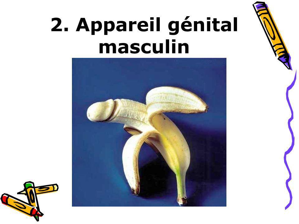 2. Appareil génital masculin