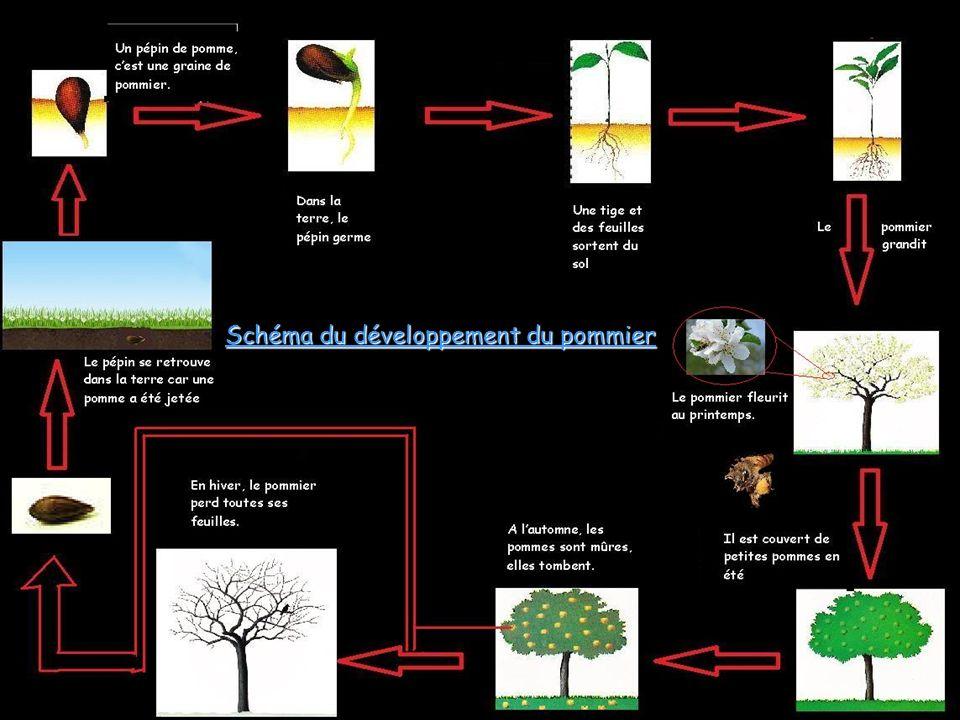 Schéma du développement du pommier
