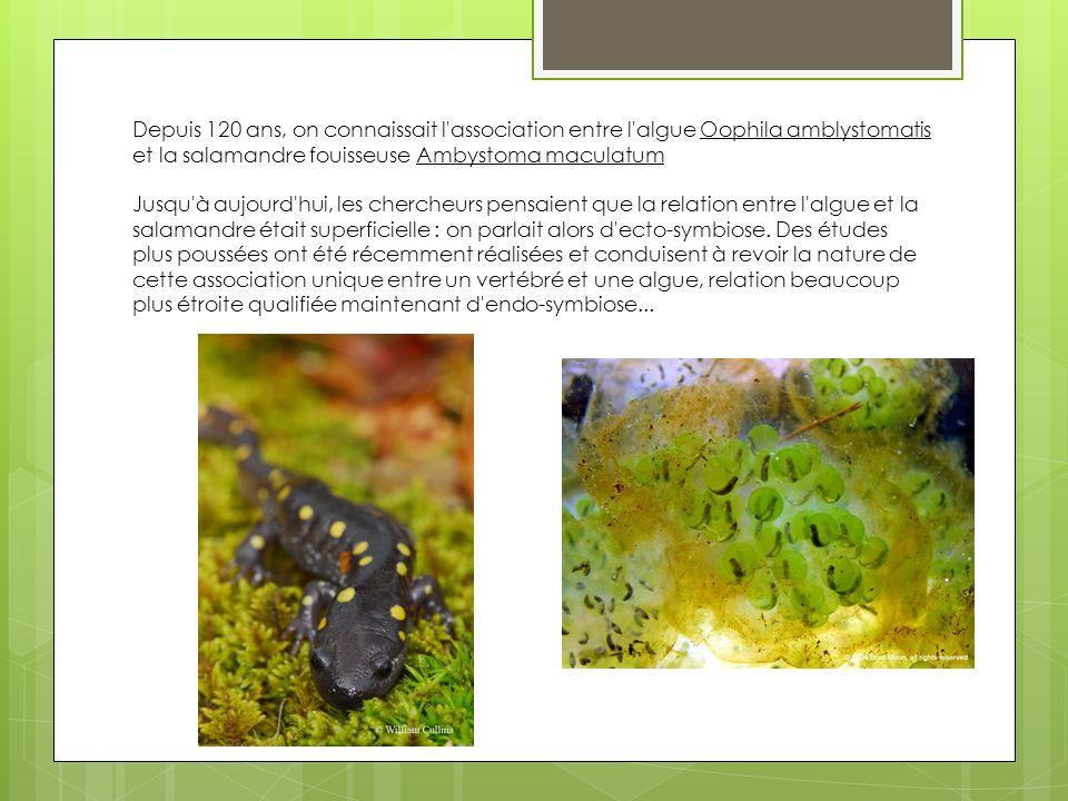 Depuis 120 ans, on connaissait l association entre l algue Oophila amblystomatis et la salamandre fouisseuse Ambystoma maculatum Jusqu à aujourd hui, les chercheurs pensaient que la relation entre l algue et la salamandre était superficielle : on parlait alors d ecto-symbiose.