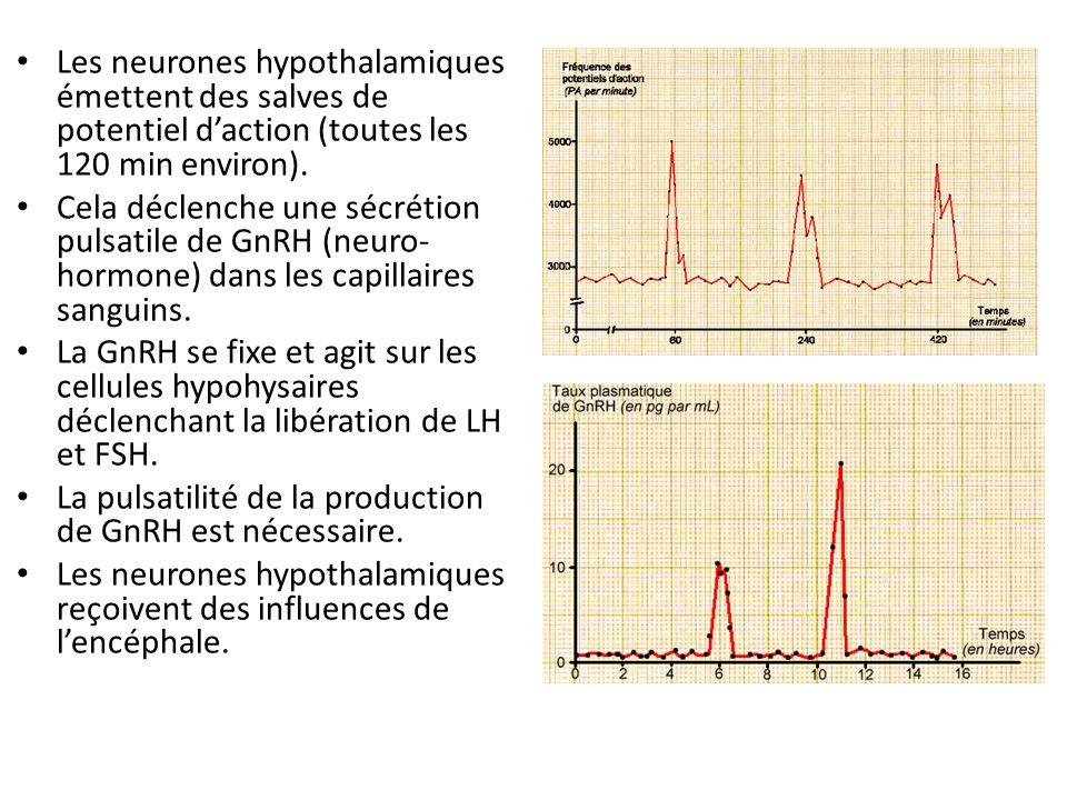 Les neurones hypothalamiques émettent des salves de potentiel d'action (toutes les 120 min environ).