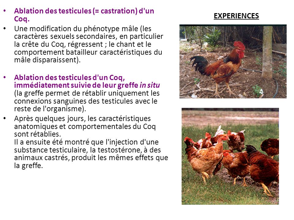 Ablation des testicules (= castration) d un Coq.