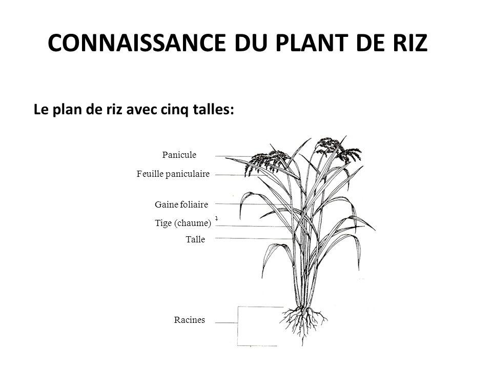Connaissance du plant de riz