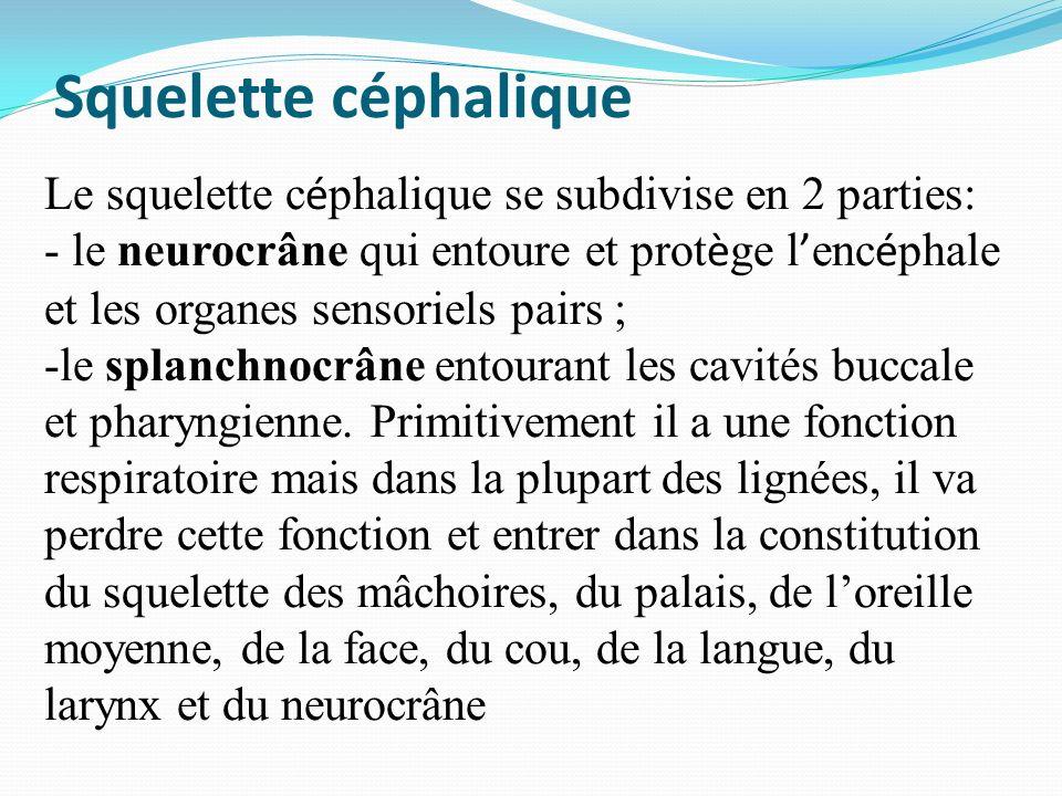 Squelette céphalique Le squelette céphalique se subdivise en 2 parties: