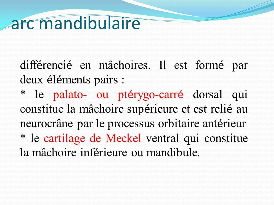 arc mandibulaire différencié en mâchoires. Il est formé par deux éléments pairs :