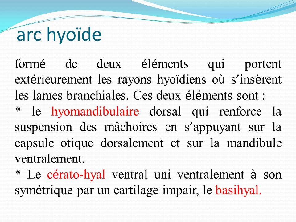 arc hyoïde formé de deux éléments qui portent extérieurement les rayons hyoïdiens où s'insèrent les lames branchiales. Ces deux éléments sont :