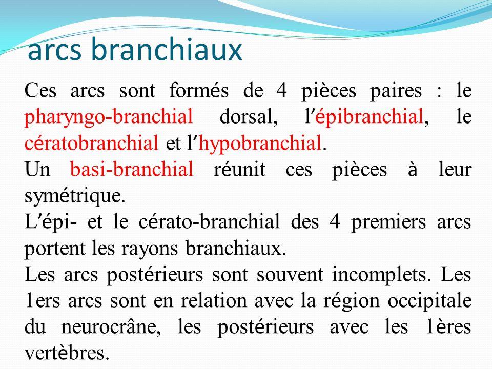 arcs branchiaux Ces arcs sont formés de 4 pièces paires : le pharyngo-branchial dorsal, l'épibranchial, le cératobranchial et l'hypobranchial.