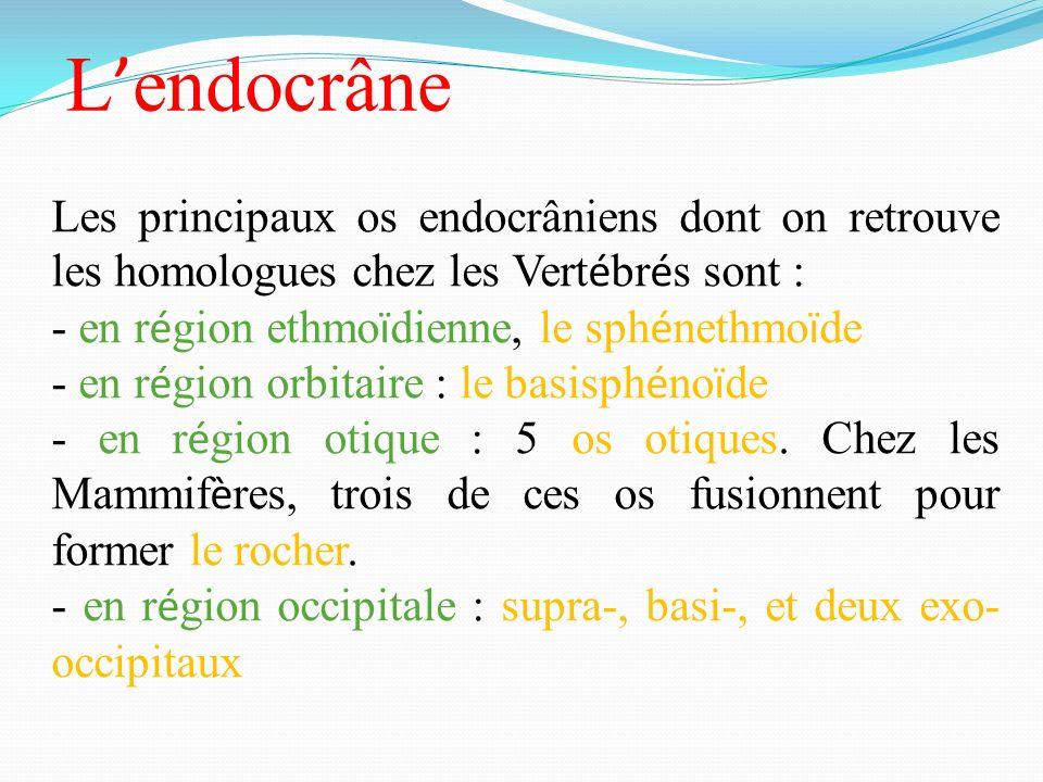 L'endocrâne Les principaux os endocrâniens dont on retrouve les homologues chez les Vertébrés sont :