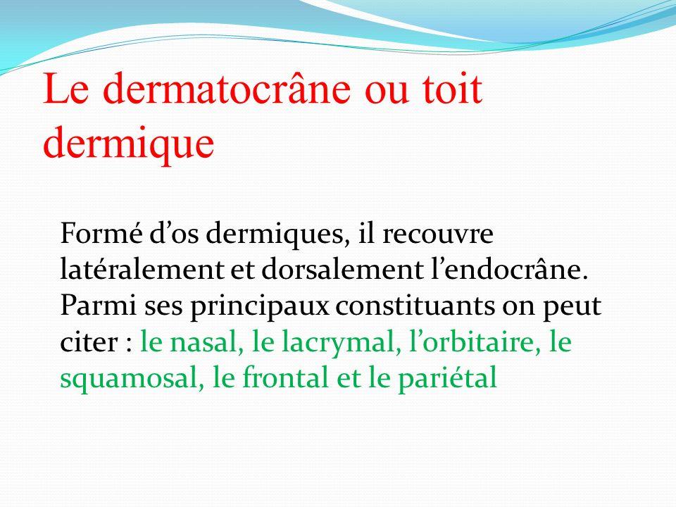 Le dermatocrâne ou toit dermique
