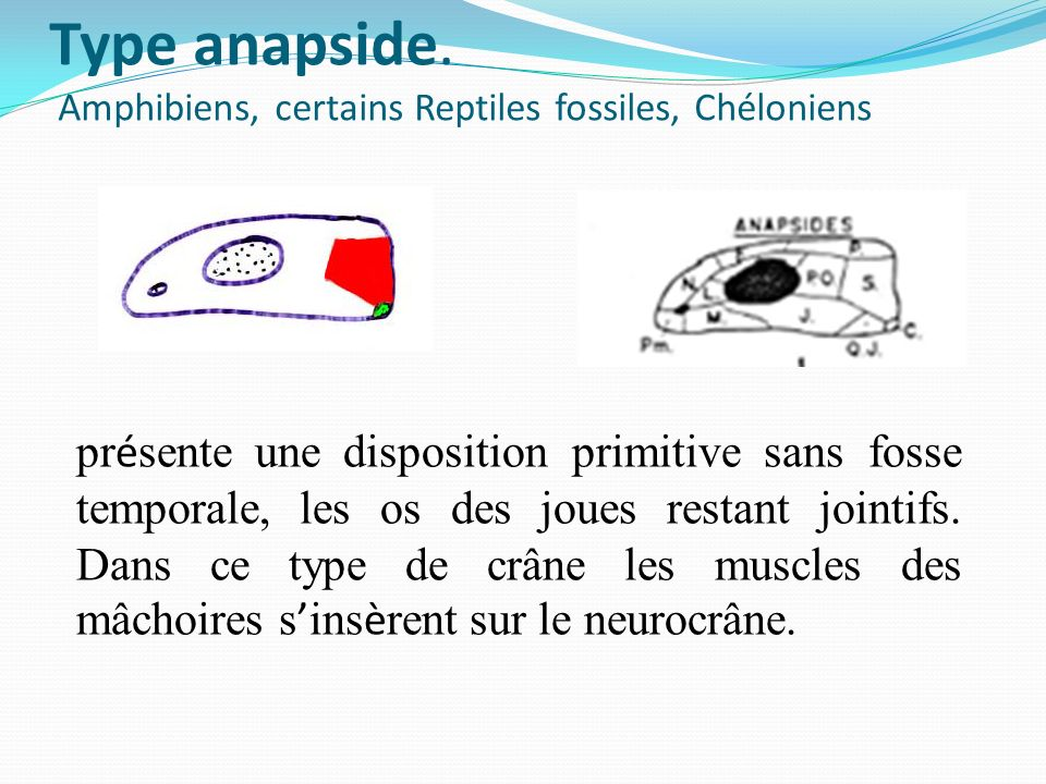 Type anapside. Amphibiens, certains Reptiles fossiles, Chéloniens