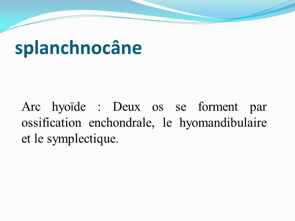 splanchnocâne Arc hyoïde : Deux os se forment par ossification enchondrale, le hyomandibulaire et le symplectique.