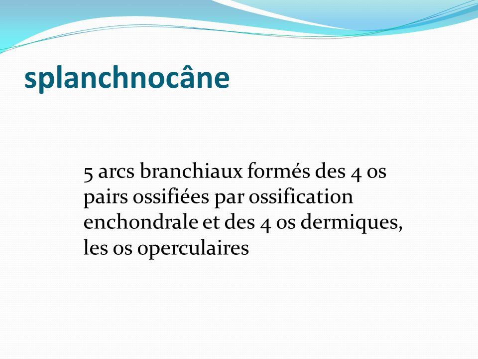 splanchnocâne 5 arcs branchiaux formés des 4 os pairs ossifiées par ossification enchondrale et des 4 os dermiques, les os operculaires.