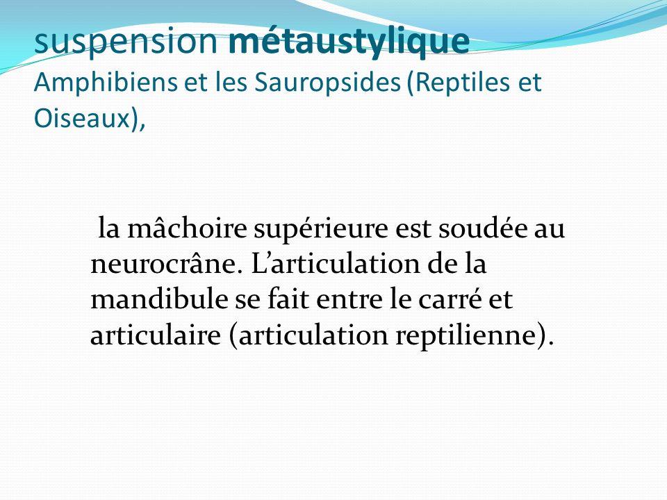suspension métaustylique Amphibiens et les Sauropsides (Reptiles et Oiseaux),